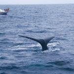 Avistamiento de ballenas jorobadas en costas de Ecuador