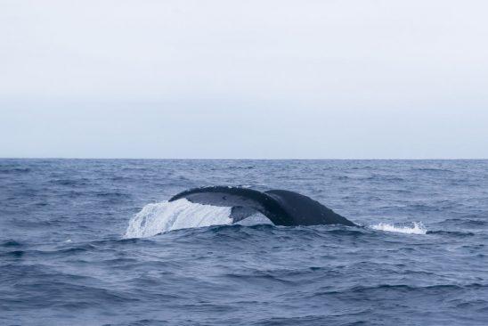Ballenas jorobadas en costas de Ecuador