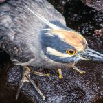 Galapagos : Pajaro | Bird