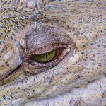 Ojo de Caiman | Alligator Eye