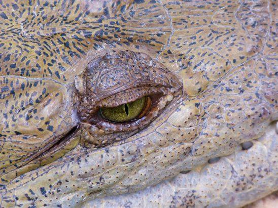 Ojo de Caiman | Alligator Eye stockipic